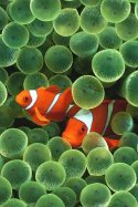 apple clownfish