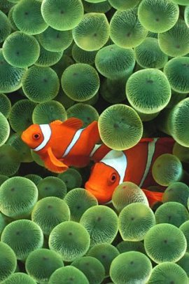 apple clownfish (click to view)
