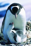 Penguins mom and chick
