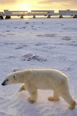 Single Polar Bear (click to view)